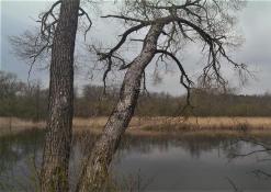 Medis prie Šventosios upės