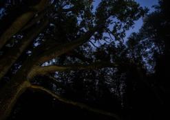 Rugpjūčio naktis - Elmės ąžuolas