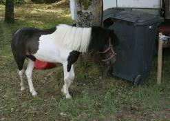 Ponis