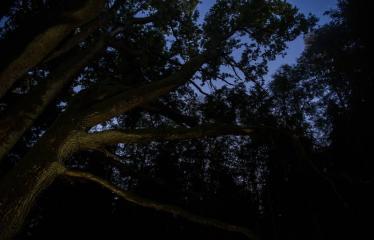 """Fotokonkursas """"Anykščiai ir apylinkės"""" (2017) - Rugpjūčio naktis - Elmės ąžuolas"""