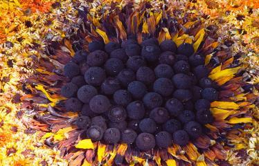 """Anykščių miesto šventė (2018) - """"Anykščių glėbyje"""" - Pilna programa - Naujųjų Elmininkų bendruomenės floristinio kilimo fragmentas"""